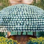 cor_thousand_bloom_chrysanthemum